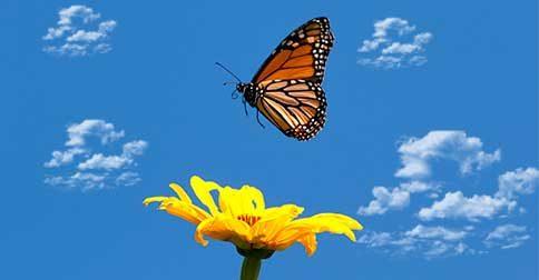 A borboleta emergindo do casulo
