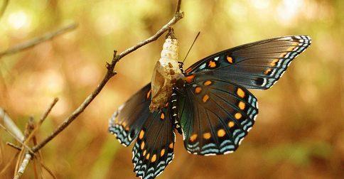 A borboleta saindo do casulo
