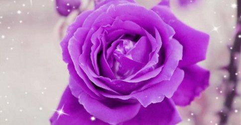A energia de Junho é como uma rosa