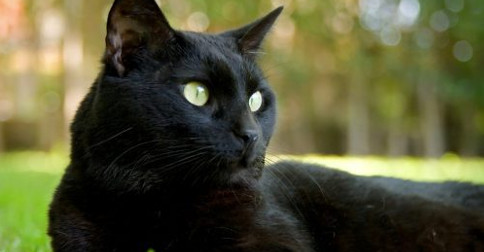 Gato preto na convivência com os humanos