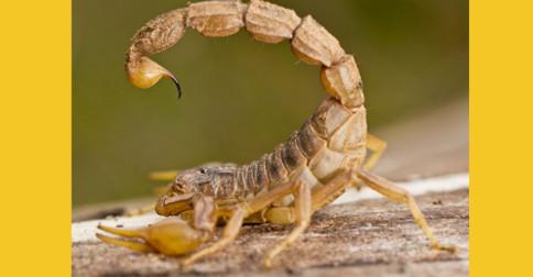 O escorpião picando o próprio rabo