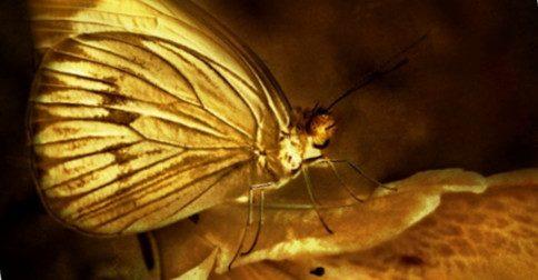 A rara borboleta dourada